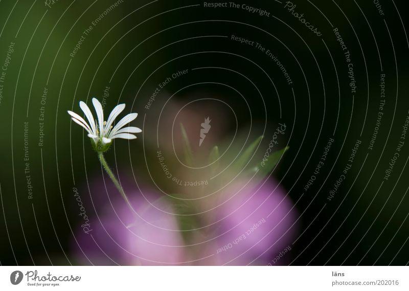 kucKuck Umwelt Pflanze Blume Blüte Sternmiere Garten Blühend grün violett schwarz Wachstum streben Farbfoto Außenaufnahme Nahaufnahme Menschenleer