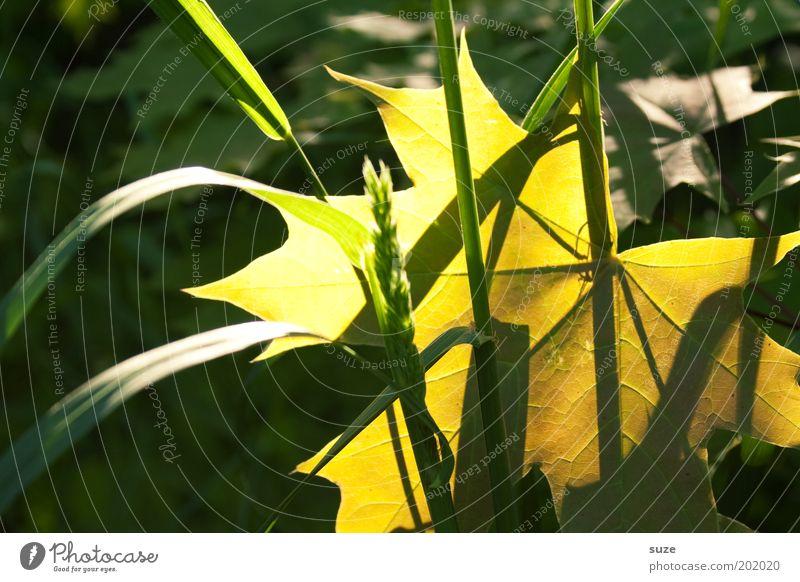 Lichtblick Umwelt Natur Landschaft Pflanze Gras Blatt leuchten ästhetisch gelb gold grün Gefühle Jahreszeiten Ahornblatt herbstlich Herbstlaub Halm Farbfoto