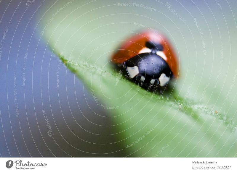 scharfer Käfer Tier sitzen Marienkäfer schwarz rot grün Punkt Blatt Natur Insekt Frühling ruhig warten nah klein schön weiß Garten Farbfoto Makroaufnahme
