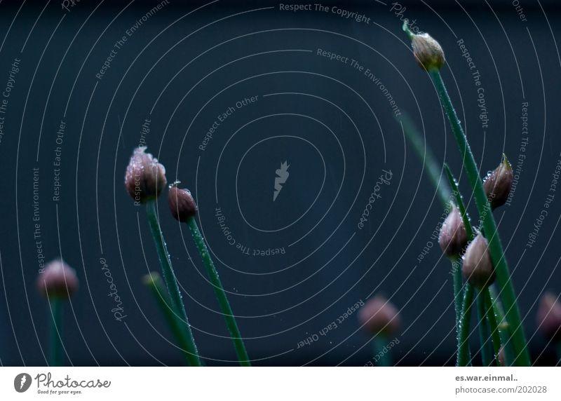 schnittlauchkrimi II. dunkel Blüte Wachstum Kräuter & Gewürze Blühend Duft verblüht Pflanze Schnittlauch Kräutergarten