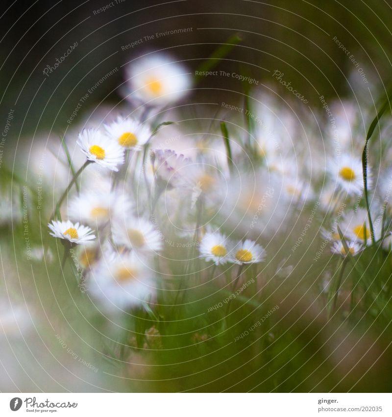 Dreaming Daisies (Happy Birthday Dorit) Natur weiß Pflanze Blume Wiese Umwelt Blüte Gras klein Wachstum Blühend Gänseblümchen Tiefenschärfe viele diffus