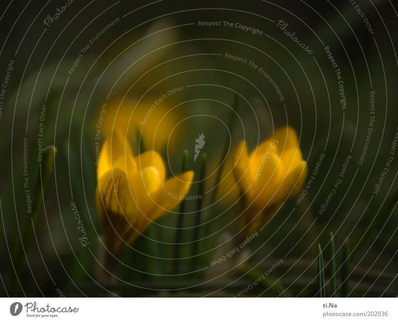 Frühlingsboten zum Purzeltag Umwelt Natur Landschaft Pflanze Blume Blüte Krokusse Garten Blühend Duft gelb grün Frühlingsgefühle Farbfoto Gedeckte Farben