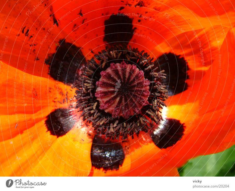 mohn Klatschmohn Mohn Blume Makroaufnahme