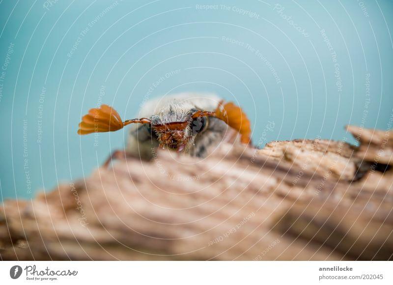 Kiekst de mal.. Natur Tier Frühling Baum Baumstamm Holz Wildtier Tiergesicht Flügel Insekt Käfer Maikäfer Fühler Auge krabbeln Blick kuschlig klein blau braun