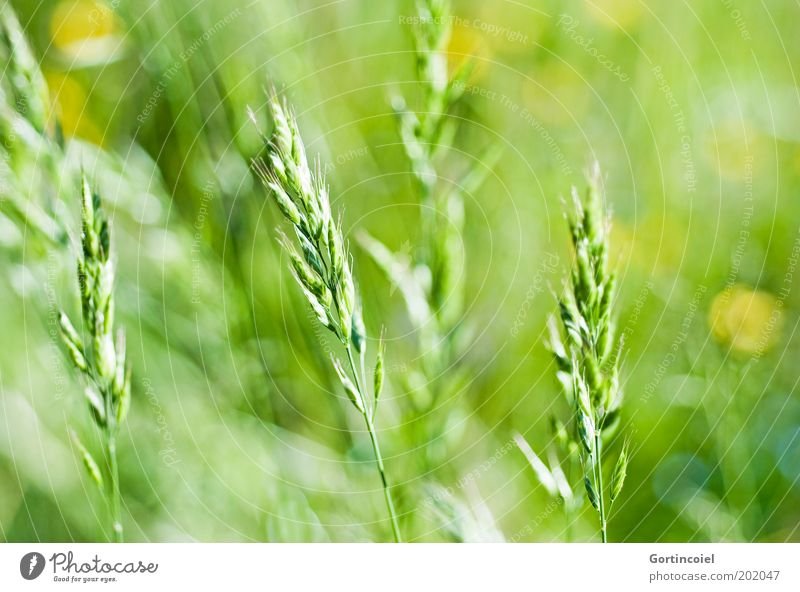 Sommerdetail Umwelt Natur Frühling Pflanze Gras Wiese Feld grün Schönes Wetter Lichtpunkt grasgrün Graswiese Grasspitze Stengel Ähren Unschärfe Farbfoto