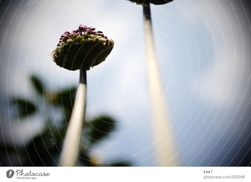 Froschperspektive Blume Leben Wachstum Blühend Stengel Duft aufwärts Blütenknospen Blütenstiel Licht Blüte himmelwärts