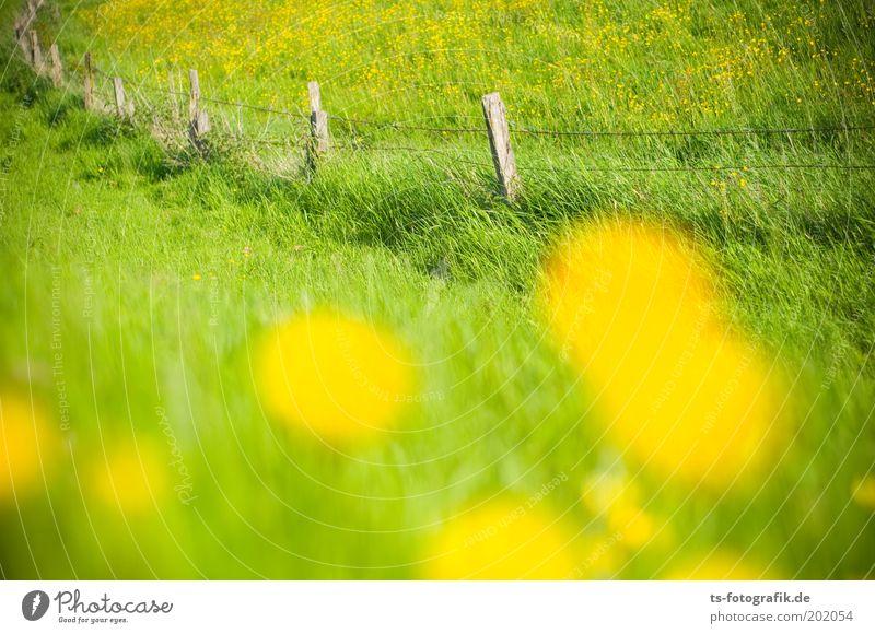 12 Blümchen für Lena schön Blume grün Pflanze Sommer gelb Wiese Gras Frühling ästhetisch Lebensfreude Löwenzahn Grenze Duft Weide Zaun