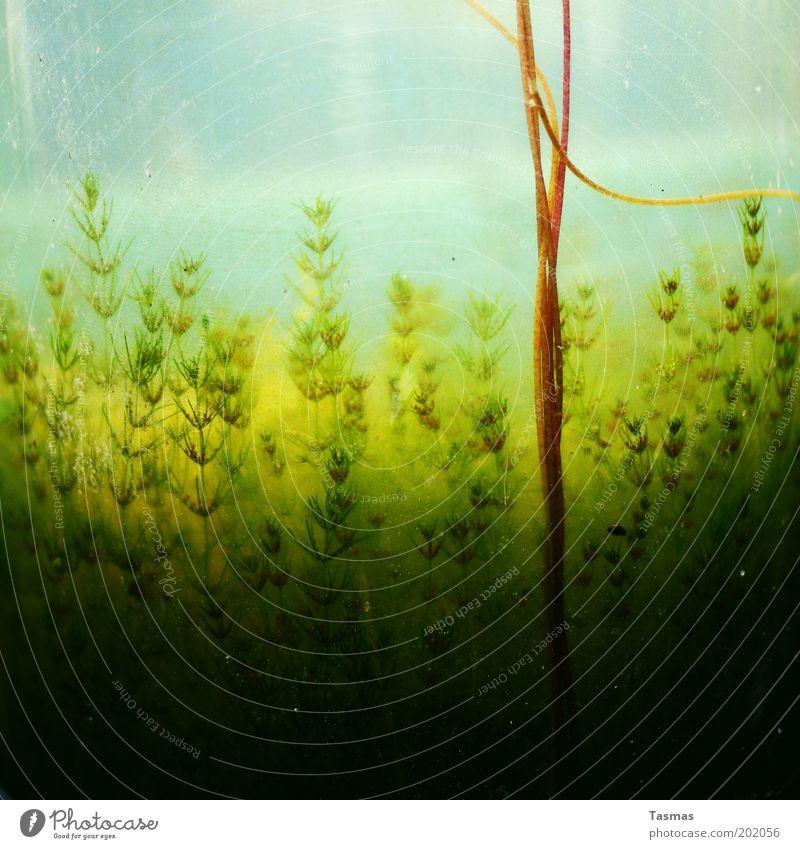 get on top Natur Pflanze Blüte Wachstum abstrakt exotisch Unterwasseraufnahme Grünpflanze Wasserpflanze Naturwuchs