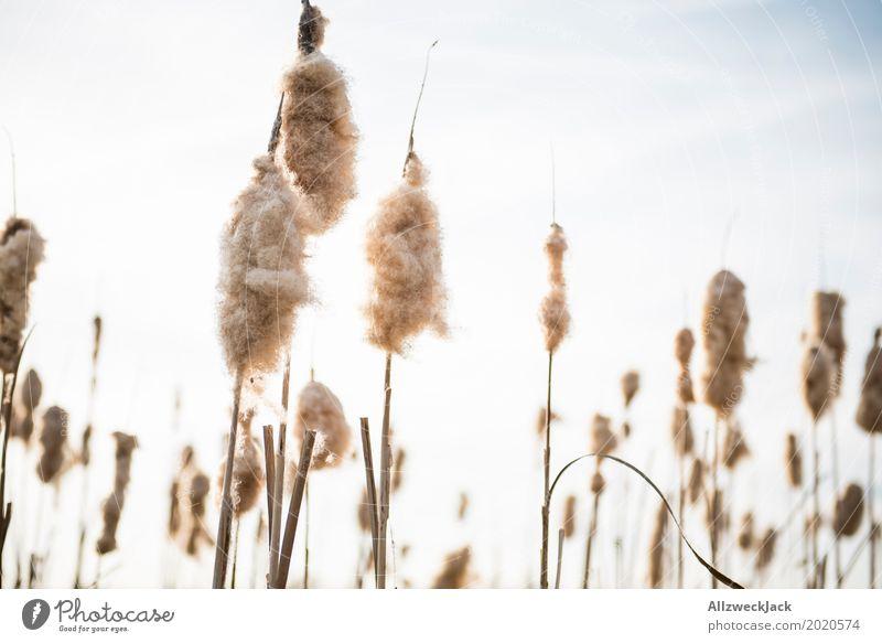 Schilfrohr Natur Pflanze Gras Frühling Blühend Samen Seeufer Zuckerwatte Fussel