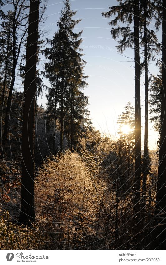 Erleuchtung Natur Baum Sonne Pflanze Winter Wald kalt Gefühle Landschaft Umwelt Sträucher Tanne leuchten gefroren frieren Märchen