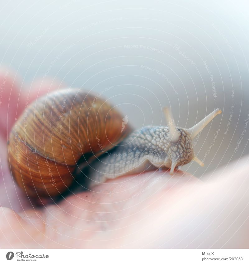 lieber eine Schnecke in der Hand als... Tier 1 Ekel schleimig Weinbergschnecken Fühler Schneckenhaus krabbeln Farbfoto Gedeckte Farben Nahaufnahme