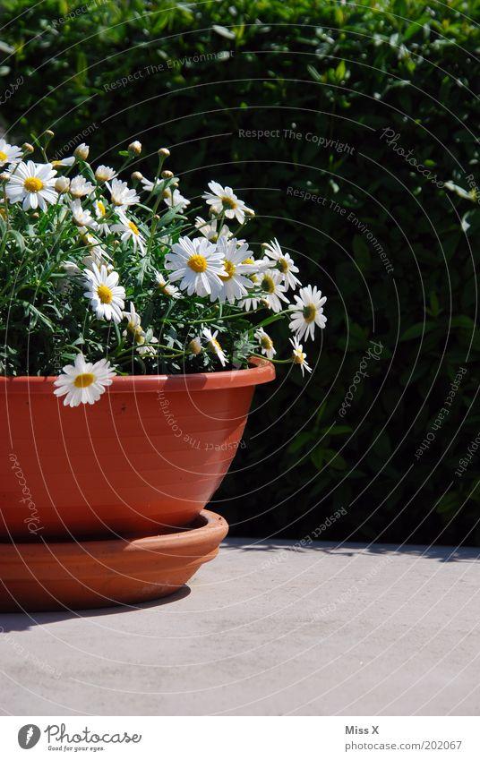 Kübel Garten Dekoration & Verzierung Umwelt Frühling Sommer Schönes Wetter Pflanze Blume Blüte Topfpflanze Blühend Wachstum Margerite Farbfoto Außenaufnahme