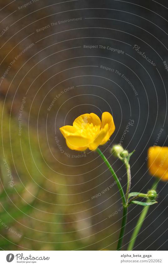 dotterchen Umwelt Natur Pflanze Urelemente Sonne Sonnenaufgang Sonnenuntergang Sonnenlicht Frühling Schönes Wetter Blume Gras Blüte Wildpflanze Feld Oase