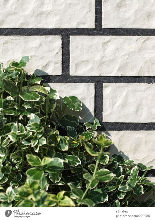 Neubausiedlungs-Fassade Pflanze Sträucher Blatt Grünpflanze Kletterpflanzen Mauer Wand Backstein Fuge Stein Wachstum eckig trist grün schwarz weiß