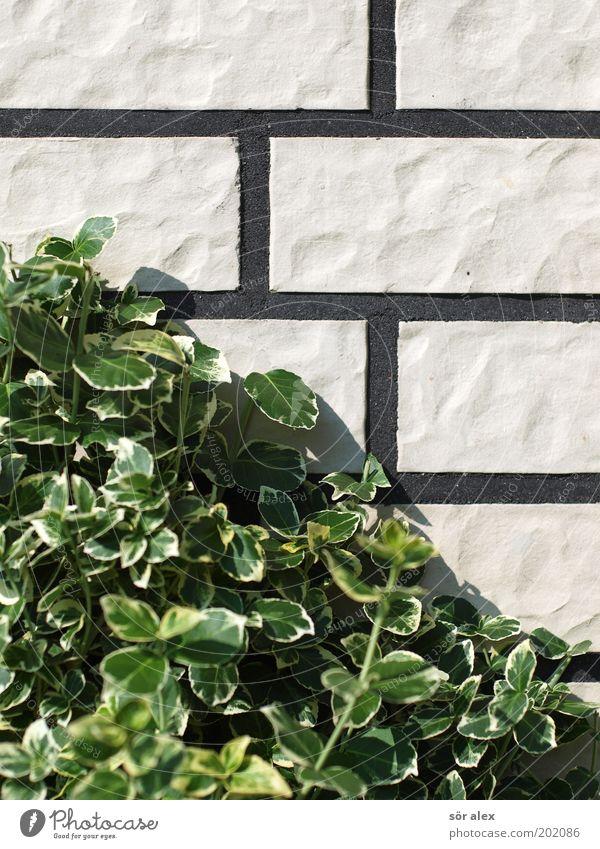 Neubausiedlungs-Fassade weiß grün Pflanze Blatt schwarz Wand Stein Mauer Wachstum trist Sträucher Sauberkeit Fliesen u. Kacheln Backstein Fuge