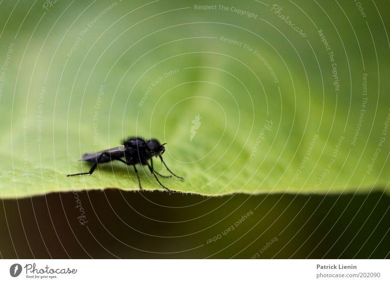 flieg los! Tier Fliege Blatt schwarz nah klein Insekt Natur Blattadern Flügel Märzhaarmücke Farbfoto Makroaufnahme Menschenleer Textfreiraum oben