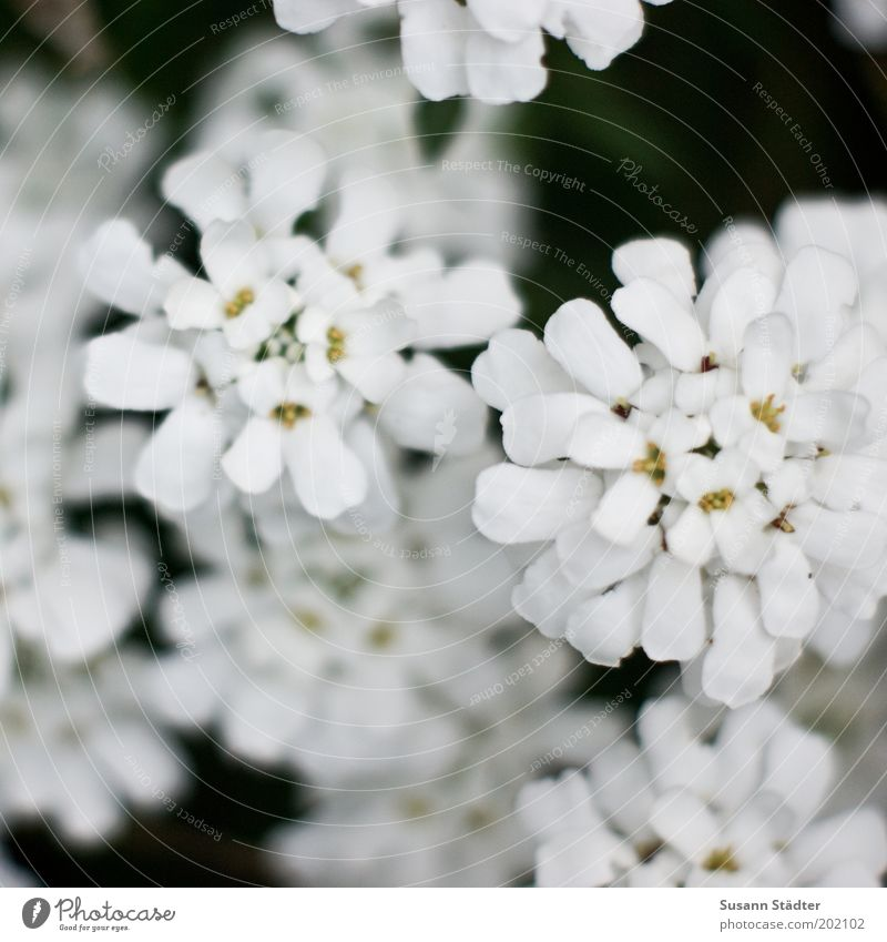Blümchen ausm Garten Natur weiß Pflanze Sommer Blüte Garten klein Wachstum rund Sträucher Blühend leuchten Schönes Wetter Vogelperspektive Umwelt Schleifenblumen