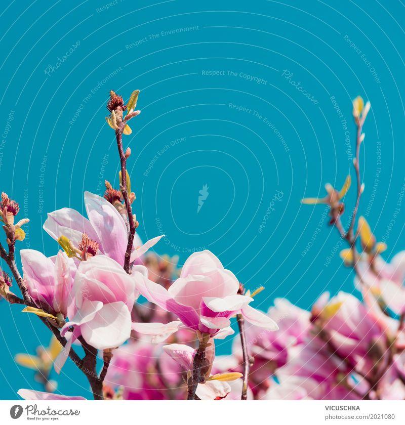Rosa Magnolie Blüten Lifestyle Design exotisch Garten Natur Pflanze Himmel Sonnenlicht Frühling Sträucher Blatt Park Blühend blau rosa Magnoliengewächse