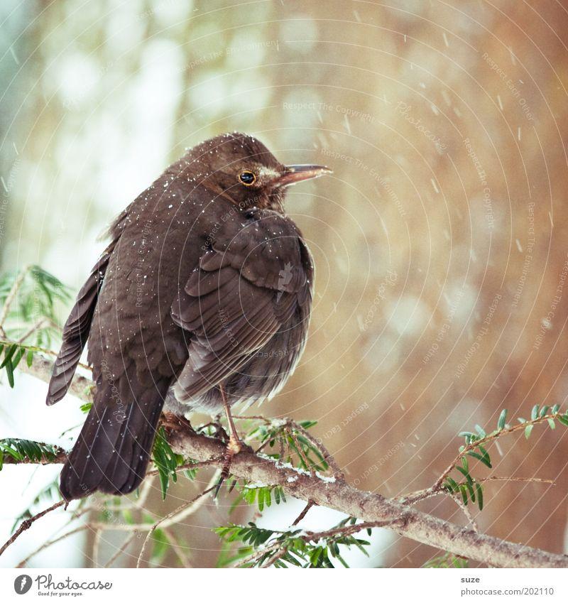 Amsel Natur Pflanze Tier Winter Umwelt kalt klein Schneefall Vogel braun natürlich Wildtier sitzen authentisch warten Feder