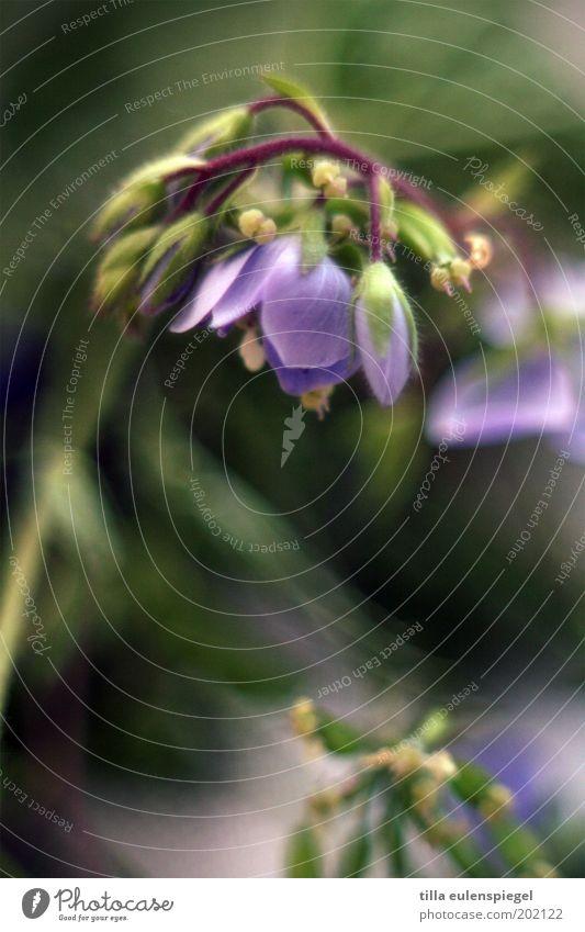 pflanzlich Natur Pflanze Frühling Sommer Blume Blüte Blühend natürlich schön wild grün violett Farbe Vergänglichkeit Vergißmeinnicht hängend Blütenknospen
