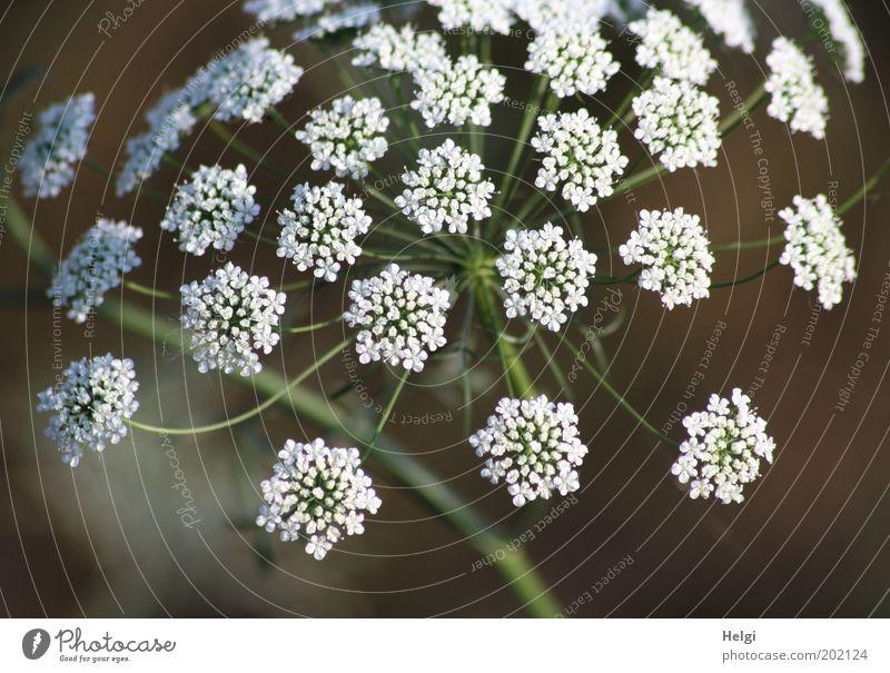 Blümchen... Natur schön weiß Blume grün Pflanze Blüte Frühling braun Feld elegant frisch ästhetisch einfach Vergänglichkeit natürlich