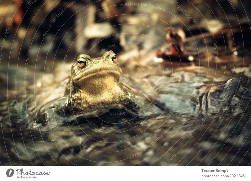 Common toad Umwelt Natur Bach Tier Wildtier Frosch 1 Ekel schleimig wild braun gelb gold Erdkröte Kröte Kröten Krötenwanderung Lurch Amphibie niemand