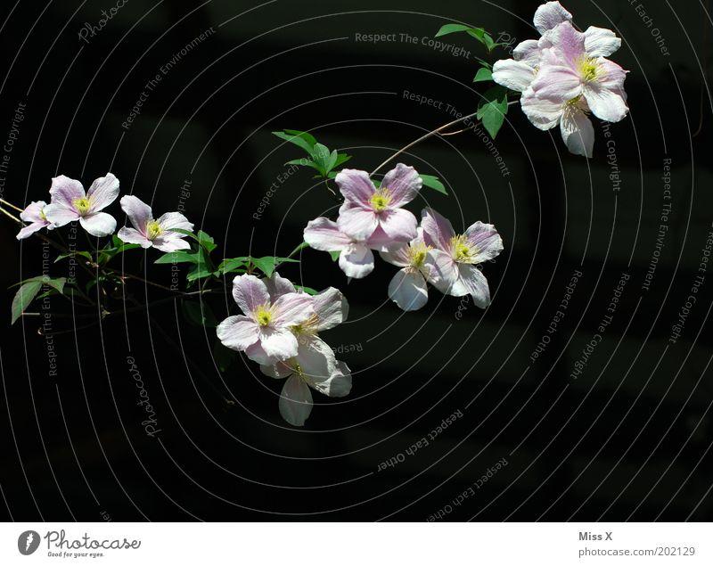 Girlande Natur Sommer Pflanze Blume Blüte Garten Park Blühend Wachstum Clematis rosa Ranke Farbfoto Außenaufnahme Nahaufnahme Menschenleer Textfreiraum rechts
