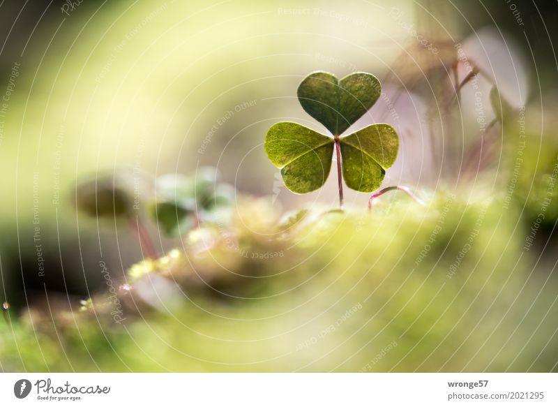 Bodennah Natur Pflanze Frühling Blatt Grünpflanze Wildpflanze Klee Kleeblatt Wald klein natürlich braun grün Waldboden Waldlichtung Waldrand Makroaufnahme
