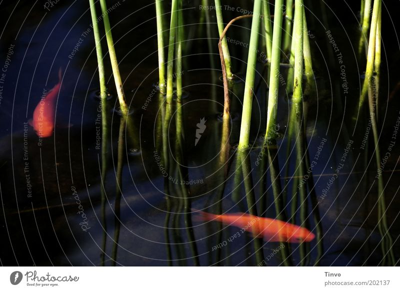 Goldfische Natur Wasser Tier Bewegung orange nass Fisch Schilfrohr Schönes Wetter Teich exotisch Haustier Wasseroberfläche Gartenteich