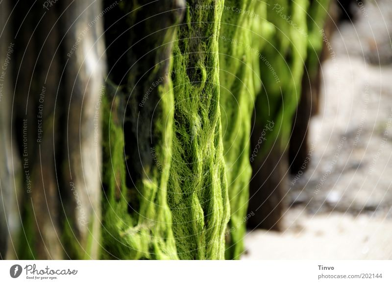 Seetang am Holzpfahl am Strand grün Sommer Küste Nordsee Algen Textfreiraum links Meer