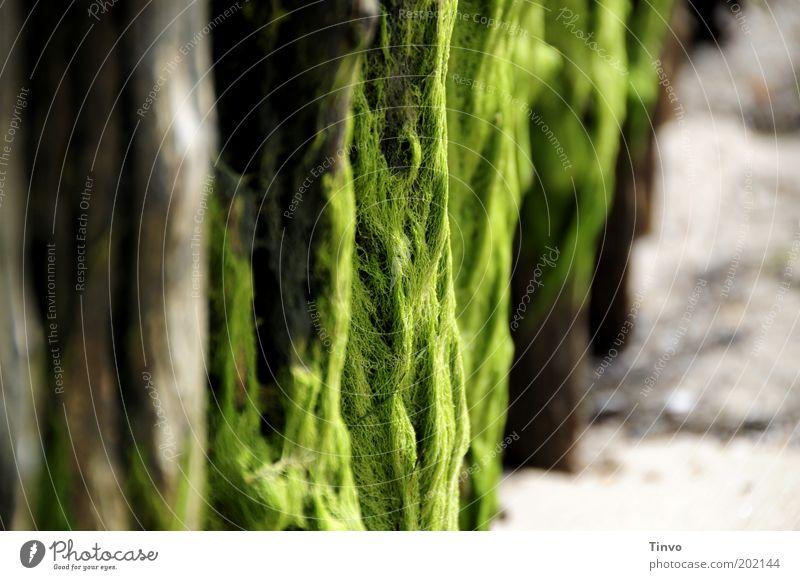 Seetang am Holzpfahl am Strand Sommer Küste Nordsee grün Algen Farbfoto Menschenleer Textfreiraum links Textfreiraum rechts Schwache Tiefenschärfe