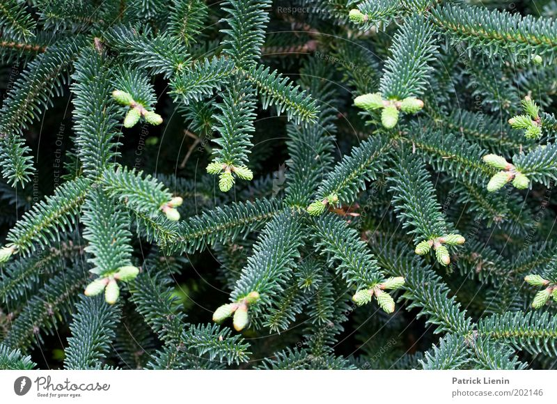 Nadeln Natur Baum Pflanze Wachstum Ast Irritation Nadelbaum Konifere