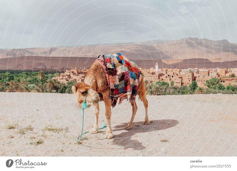 Wüstentaxi Oase Kamel Dromedar warten Marokko Kamelmarkt Kamelhöcker Teppich Urlaubsfoto Ferien & Urlaub & Reisen Reisefotografie Naher und Mittlerer Osten