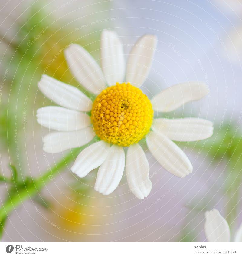 Kamille Kräuter & Gewürze Tee schön Körperpflege Gesundheit Pflanze Blume Blüte Kamillenblüten gelb grün weiß ruhig Kamillentee Kamillenbad Korbblütler