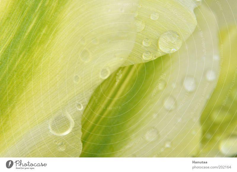 fio Natur Wasser grün Pflanze Farbe Blüte Frühling Regen Zufriedenheit Wassertropfen Blume Idylle Tulpe Leichtigkeit Textfreiraum links