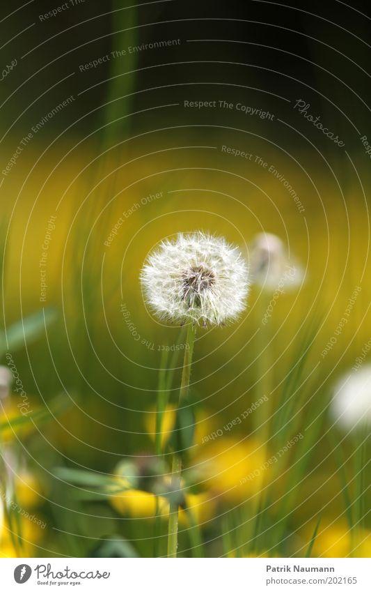 Pusteblume in gelb-grünem Bokeh Natur schön Pflanze ruhig Ferne Wiese Frühling Landschaft Umwelt Perspektive ästhetisch nah Vergänglichkeit Wunsch
