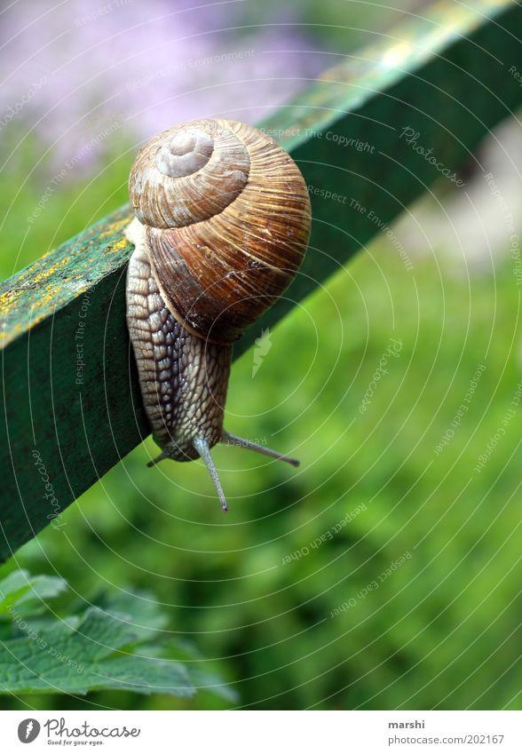 auf Abwegen grün Sommer Tier Wiese Frühling Garten klein Neugier hängen Schnecke Pfosten Fühler krabbeln langsam Spuren Schneckenhaus