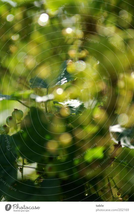 Johannisbeerensuchbild Frucht Ernährung Bioprodukte Vegetarische Ernährung Gesundheit Umwelt Natur Pflanze Frühling Sommer Sträucher Blatt Nutzpflanze Garten