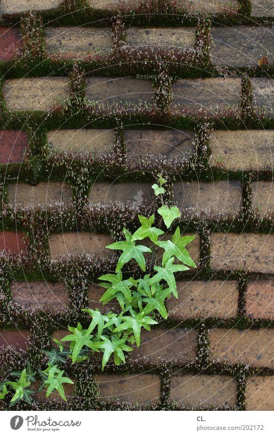 grünzeug Natur Pflanze Sträucher Moos Grünpflanze Wildpflanze Garten Park Mauer Wand Wachstum alt dreckig Kraft Willensstärke Ausdauer standhaft Verfall