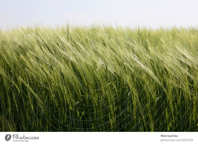 Mitgehen Natur Landschaft Himmel Frühling Wind Gerste Feld Wachstum authentisch nachhaltig grün ruhig beweglich Ernährung Farbfoto Außenaufnahme Makroaufnahme