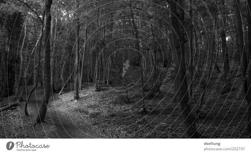 Dunkler Wald Natur Baum Pflanze Umwelt dunkel Landschaft natürlich Schwarzweißfoto Grünpflanze Wildpflanze