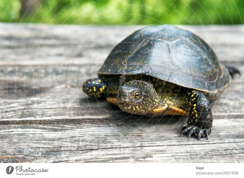 Große Schildkröte auf altem hölzernem Schreibtisch exotisch Sommer Garten Tisch Natur Tier Sonnenlicht Gras Haustier Wildtier 1 Holz krabbeln klein natürlich