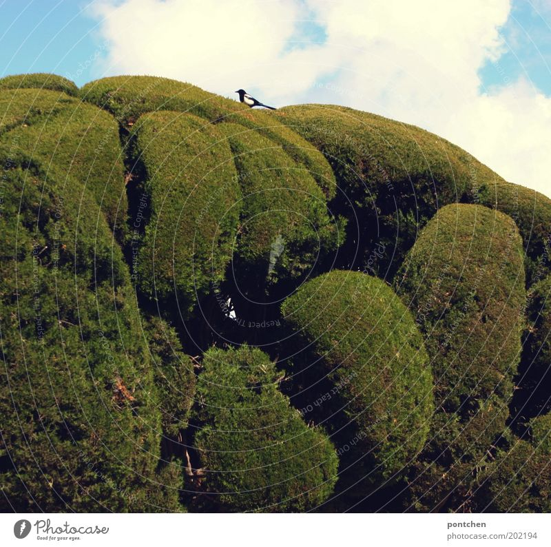 Ein kleiner Vogel sitzt auf akkurat zugeschnittenen Büschen. Natur. Park Umwelt Himmel Pflanze Baum 1 Tier blau grün Größenunterschied rund Schwanz Kunst Elster