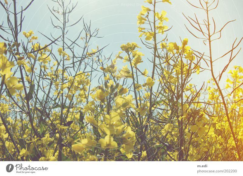 Raps Umwelt Natur Pflanze Klima Feld natürlich Farbfoto mehrfarbig Außenaufnahme Menschenleer Morgen Tag Kontrast Sonnenlicht Sonnenstrahlen Rapsfeld