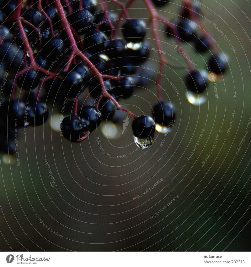 holunder im regen Natur Wassertropfen Regen Beerenfruchtstand Holunderbeeren nass saftig violett schwarz feucht Farbfoto Gedeckte Farben Außenaufnahme