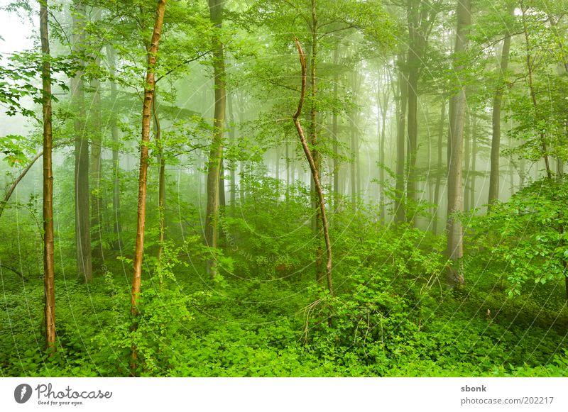 Jungelfieber Sommer Umwelt Natur Landschaft Pflanze Nebel Baum Sträucher Farn Wald Urwald frisch nass grün Farbfoto Außenaufnahme Menschenleer Lichterscheinung