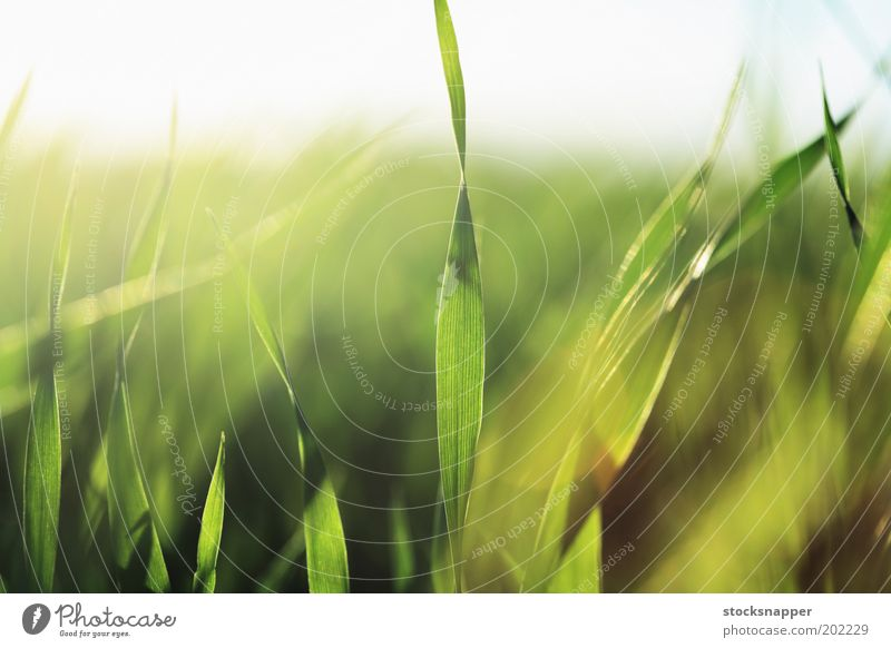 Gerstenkeimlinge grün Sämlinge natürlich Natur Detailaufnahme Nahaufnahme Unschärfe Gras