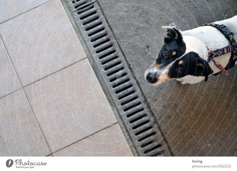 Horst Leberwurst hat endlich noch mehr Zeit zum Gassi gehen weiß schwarz Tier Hund Angst Fliesen u. Kacheln Schüchternheit scheckig Terrier Regenrinne