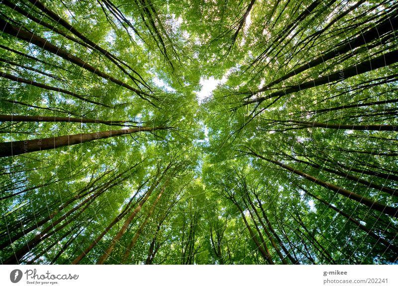 treetops Natur Himmel Baum Wald oben Frühling Park Hintergrundbild groß hoch Wachstum aufwärts Baumkrone vertikal Laubbaum