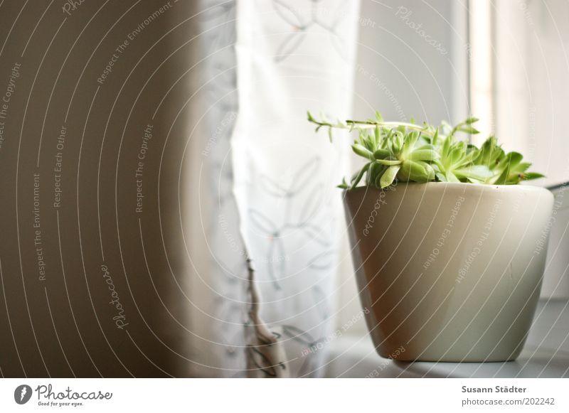 Danke Bianca! Pflanze Blühend Topfpflanze Blumentopf Grüner Daumen Vorhang Alltagsfotografie Fensterbrett Grünpflanze Saum Gardine Gedeckte Farben Innenaufnahme